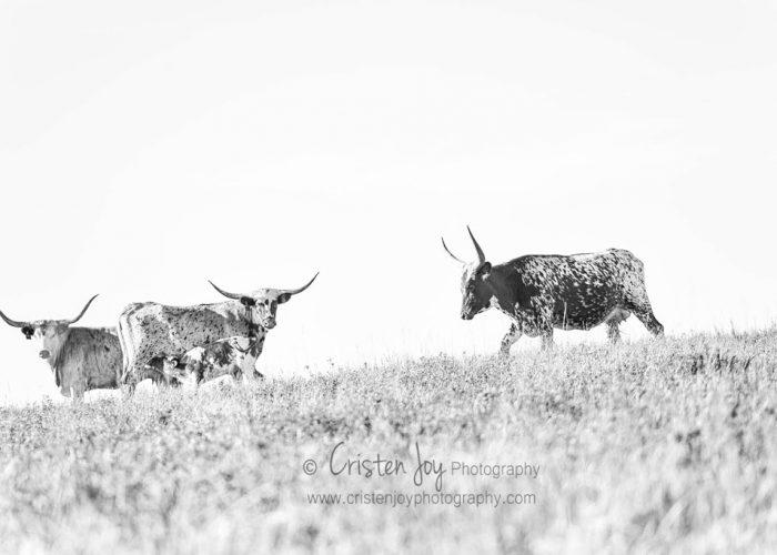 Longhorns {The Romantics of Cattle}