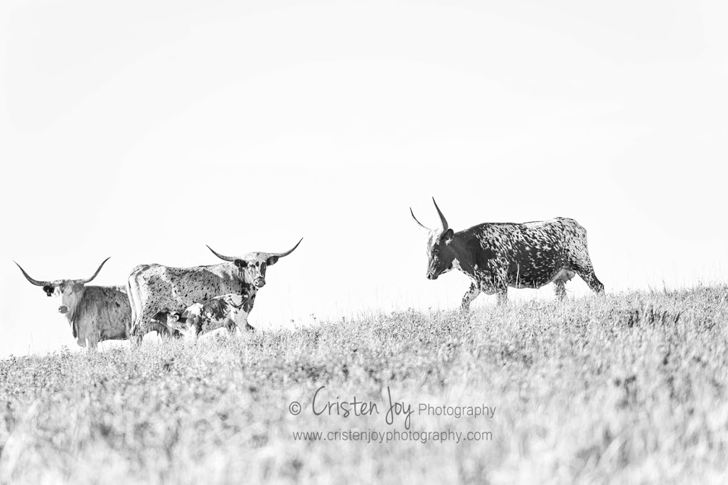 Longhorns {The Romantics of Cattle}