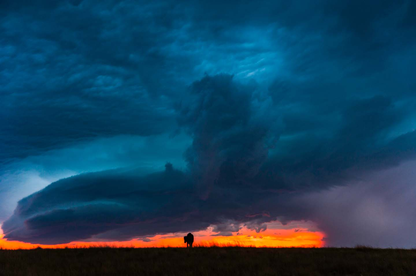 Looming Storm {Baby buffalo}