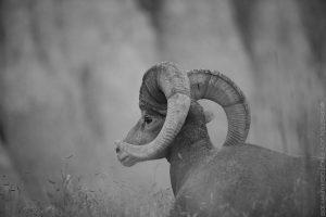 Big Horns in the Badlands