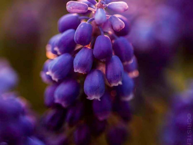 Grape Hyacinth Custom Print