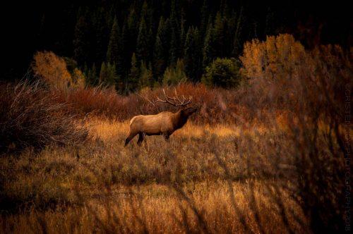 Bugling Elk © Cristen J. Roghair http://cristenjoyphotography.com