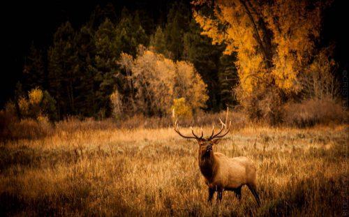 Elk © Cristen J. Roghair http://cristenjoyphotography.com