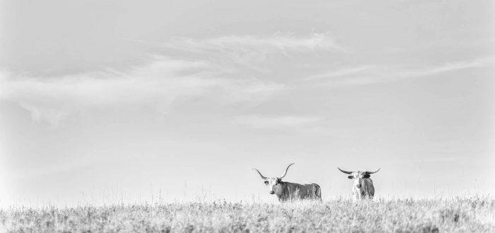 Longhorns2