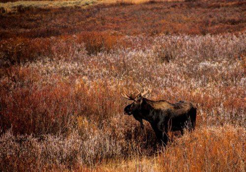 Moose © Cristen J. Roghair http://cristenjoyphotography.com
