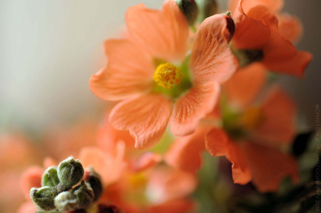 Scarlet Globemallow copy w,