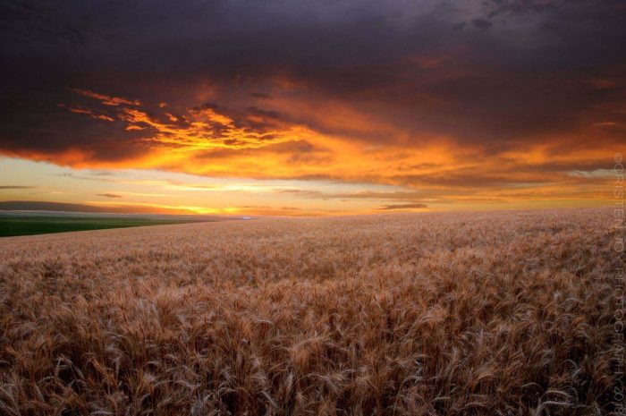 Wheat Field at Sunset © Cristen J. Roghair http://cristenjoyphotography.com