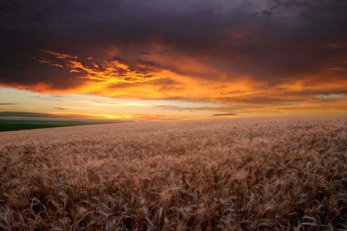 WheatFieldSunset